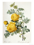 Rosa Sulfurea Giclee Print by Pierre-Joseph Redout&#233;