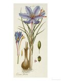 Crocus Sativus Giclee Print by Andreas Friedrich Happe