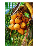 Coconuts on Tree Giclee Print by Palm Images