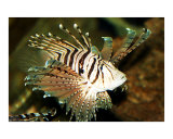 Lion Fish Photographic Print by Elissa Dellosso