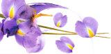 Lucid Iris I Art par S & R Rasheed