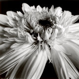 Gerbera Posters by Darlene Shiels