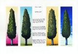4 Zypressen mit Gedicht 1999 Limited Edition by Folkert Rasch