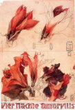 4 Nächte Amaryllis Collectable Print by Horst Janssen