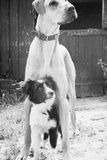 Small Dog Standing under Great Dane Photographic Print