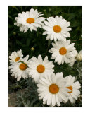 White daisies Photographic Print by Andrei Filonov