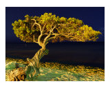 Divi divi Tree Aruba Photographic Print by Christopher Brady