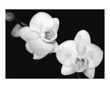 Phalaenopsis Photographic Print by Aaron M Hackett