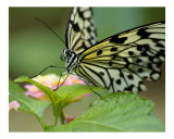 Resting Butterfly Photographic Print by Ross Tracy