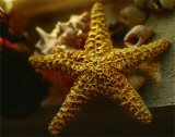 Starfish I Prints by Philip Clayton-thompson