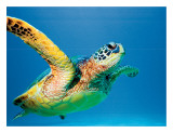 Hawaiian Green Sea Turtle Giclee Print by Theresa Young