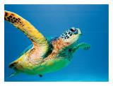 Hawaiian Green Sea Turtle Giclee Print by Theresa Young