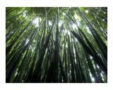 Bamboo Forrest Photographic Print by Quest Kennelly