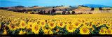 Sonnenblumenfeld, Umbrien Kunstdruck von Philip Enticknap