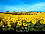 Champ de tournesols, Ombrie Affiches par Philip Enticknap