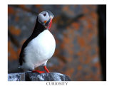Curious Puffin Photographic Print by AdventureArt