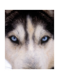 Focus - Husky Eyes Photographic Print by AdventureArt