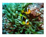 Twobar Anemonefish Fotografisk tryk af Eugene Williams