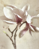 Pink Magnolia II Posters by Donna Geissler
