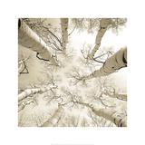 Silver Birch Affiche par Adam Brock