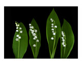 Lily of the Valley Photographic Print by Anna Maria Miller