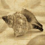 Conch Reprodukcje autor John Seba