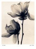Tulpen-Magnolie Poster von Judith Mcmillan