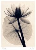 Tropische Wasserlilie Kunstdrucke von Judith Mcmillan