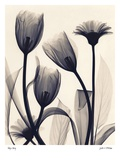 Tulip and Daisy Posters by Judith Mcmillan