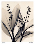 Lily of the Valley Prints by Judith Mcmillan
