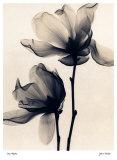 Magnolia de Soulange Poster par Judith Mcmillan