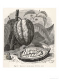 The Fruit of the Cocoa (Or Chocolate) Plant Theobroma Cacao Giclee Print by  Berveiller