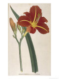 Tawny Day Lily Reproduction procédé giclée par William Curtis