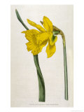 Great Daffodil Giclee Print by William Curtis
