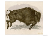 Bison Bison American Bison or Buffalo Depicted in the Act of Charging Giclee Print by Brittan 