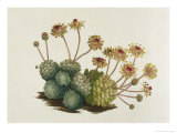 Dwarf Houseleek Giclee Print by William Curtis