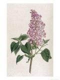 Common Lilac Giclée-Druck von William Curtis