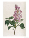Common Lilac Giclee Print by William Curtis