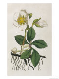 Black Hellebore or Christmas Rose Used to Cure Mental Afflictions Since 1400 Bc Giclee Print by William Curtis