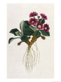 Mountain Primula Giclee Print by William Curtis