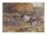 Male Caribou Watches Females Swim Across a River Giclee Print by E. Calawell