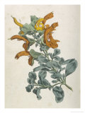 Or Salvia Aurea Golden Sage or Sandsalie Giclee Print by William Curtis