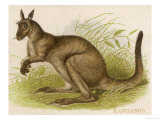An Engraving of a Kangaroo Giclee Print by Brittan