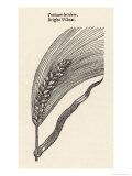 Triticum Lucidum Bright Wheat Giclee Print by John Gerard