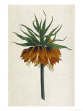 Crown Imperial Giclée-Druck von William Curtis
