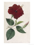 China Rose Hibiscus Giclee Print by William Curtis