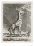 Giraffe 18th Century Giclee Print by A. Bell