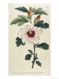 Syrian Hibiscus or Althaea Fruter Premium Giclee Print by William Curtis