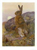 Lepus Europaeus a Hare Sits up on Its Back Legs Premium Giclee Print by Winifred Austen