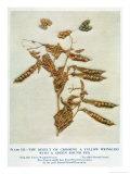 Gregor Johann Mendel Austrian Botanist Giclee Print by A.d. Darleishire